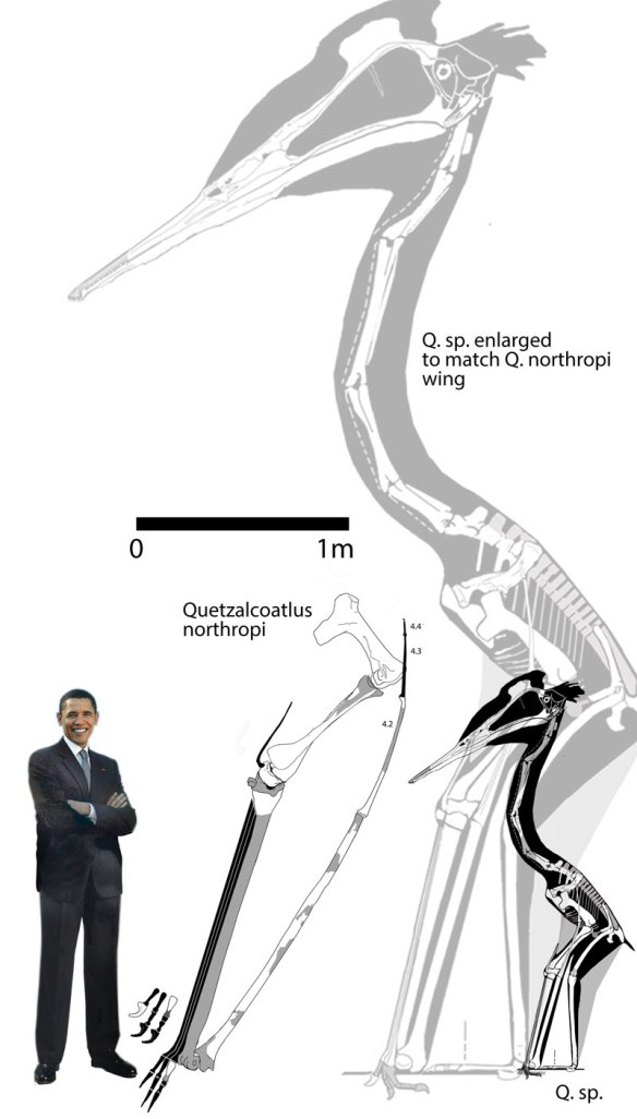 Figure 1. Quetzalcoatlus specimens to scale.