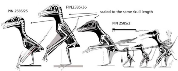 Figure x. When you compare the three specimens of Sordes to the three jianchangopterids the purported similarities to Sordes start to fade. Shifting Jianchangopterus to Sordes adds 40 steps.