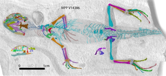 Figure 2. IVPP-V14386 with major bones colorized and skull reconstructed.