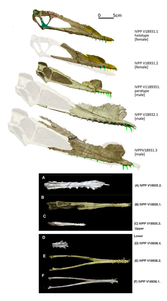 Figure 1. Hamipterus skulls and mandibles compared. Scale bar = 5cm. Ghosted images are from smaller specimens.