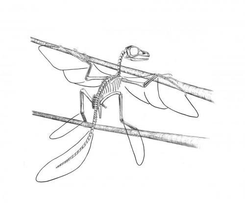 Figure 1. Reconstruction of Scansoriopteryx with possible feather extent by Stephen Czerkas. Good thing that second branch or telephone wire is available for balance!
