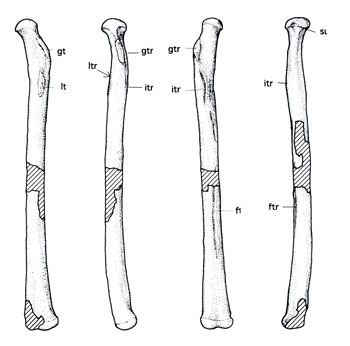Fig. 2. Anhanguera left femur from Kellner and Tomida 2000. Note the axis of the femoral head is not far off from the axis of the femoral body, producing a sprawling hind limb here as it does in other tetrapods.