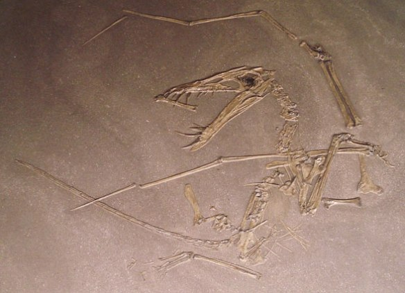 Figure 2. The R 156 (Uppsala) specimen of Dorygnathus. Crushed and scattered like a sunken galleon.