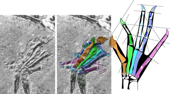 Figure 1. Icarosaurus fingers were tucked under the metacarpus. Colorized and reconstructed using DGS.