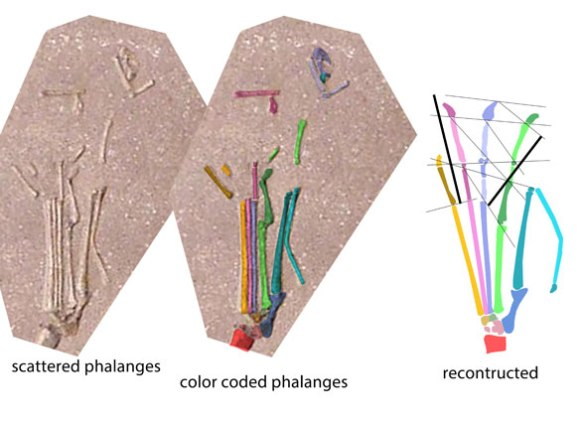 Figure 3. The disarticulate pes of Dorygnathus here reconstructed using DS into a complete pes.