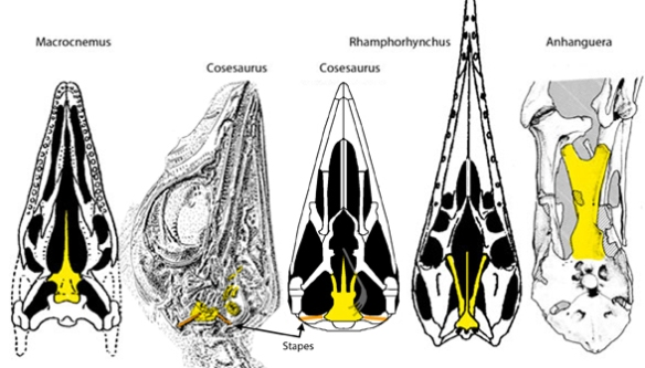 Figure 1. Elongation of the basipterygoid process of the basisphenoid in pterosaur precursor, Cosesaurus.