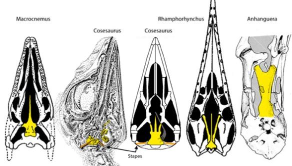 Figure 1. Elongation of the basipterygoid process of the basisphenoid in pterosaur precursor, Cosesaurus.