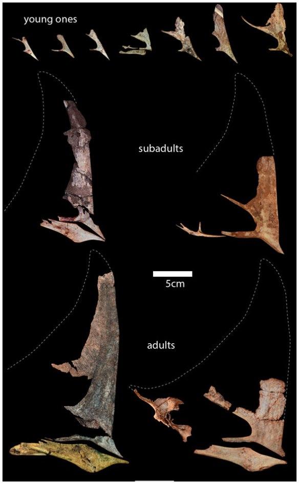 Figure 4. Caiuajara skulls to scale.