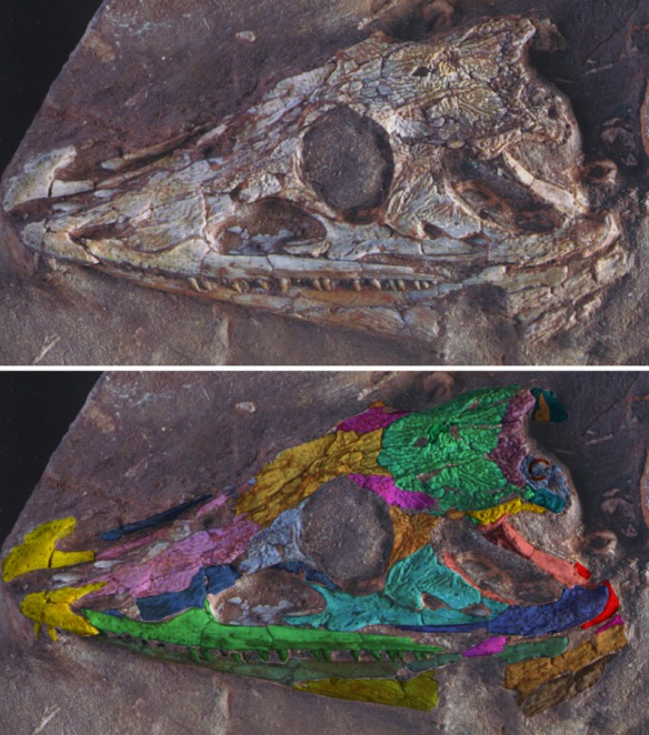 Figure 1. Click to enlarge. Chroniosaurus as is and colorized (DGS) for visual presentation. How did I do? Did I miss anything? How is it missing an entire squamosal, unless it was loose and was removed, which I suspect. PIN 3585 ⁄ 124