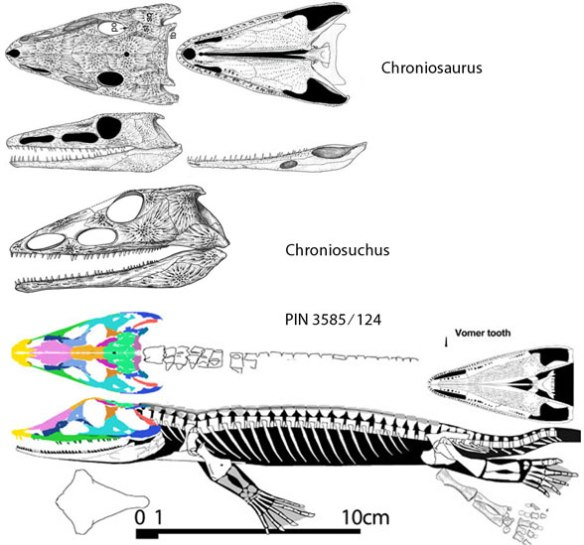 Figure 2. Chroniosuchus and Chronioaurus to scale with PIN.