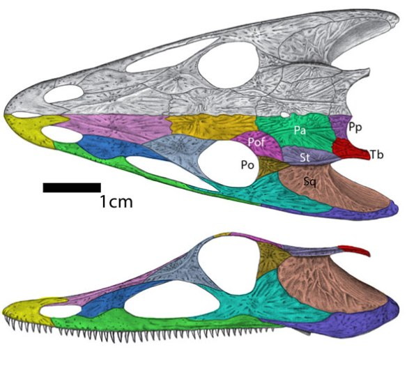 Figure 3. Skull of Chroniosaurs by Ruta from Klembara and Clack 2009. Note the lacrimal does not contact the orbit, different than the tracing in Fig. 1.