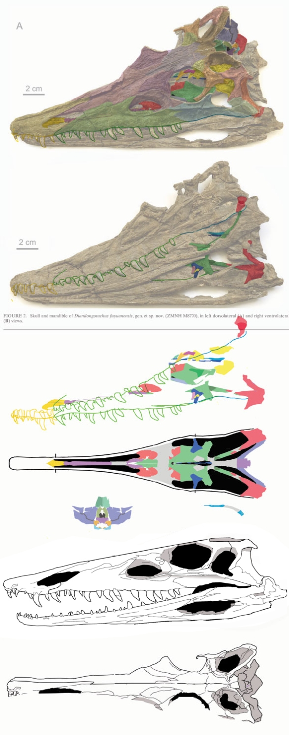 Figure 1. Using DGS to tease out the palate elements of Diandongosuchus. Color tracings enable the important elements of the skull to be layered upon one another to see where things match up and where they don't. A sliver here might be connected to another sliver there. I was surprised to see how narrow the skull was, even before crushing.