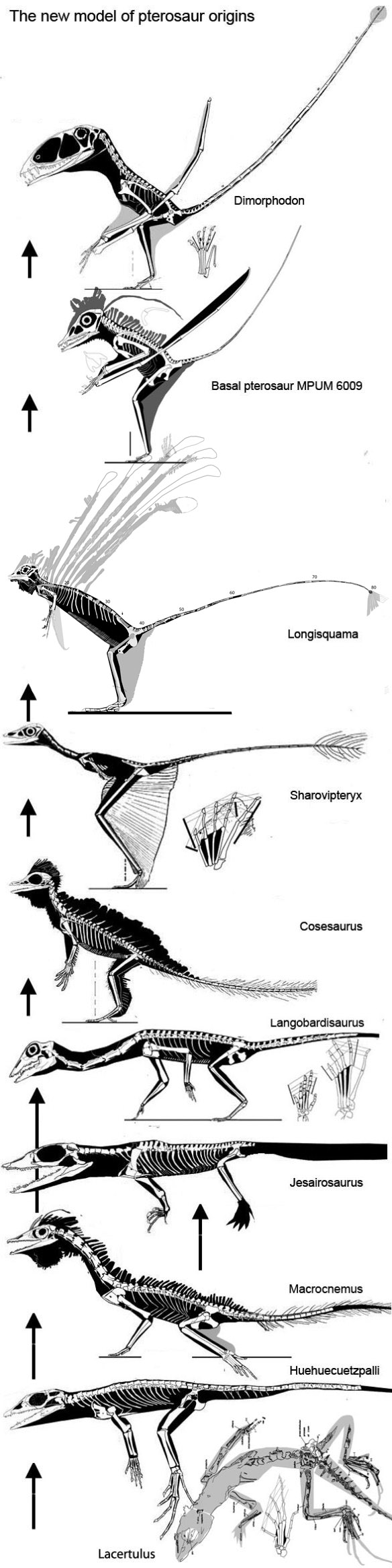 Click to enlarge. Lepidosaurs, tritosaurs and fenestrasaurs in the phylogenetic lineage preceding the origin of the Pterosauria.