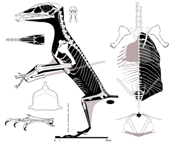 Figure 4. Lateral, dorsal and cross-sectional views of Eudimorphodon ranzii. Note the overlap of the posterior ribs over the hind limbs and the very wide torso.