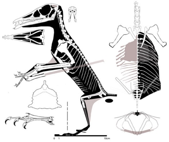 Figure 4. Lateral, dorsal and cross-sectional views of Eudimorphodon ranzii. Note the overlap of the posterior ribs over the hind limbs and the very wide torso. The cross section shows the 2nd dorsal ribs and the 23rd. Note the small ischium which could only produce small eggs. A little taller and wider than we thought before. The forelimbs are pretty short relative to the torso.