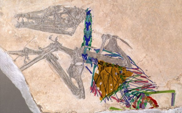 Eudimorphdon ranzii with post cranial bones colorized.