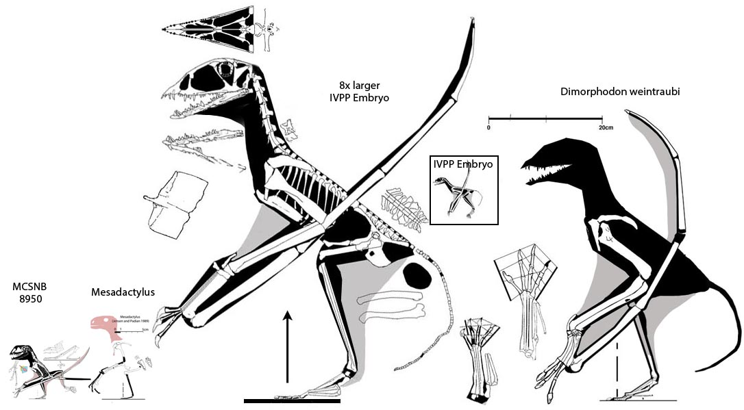 Figure 1. Large anurognathids and their typical-sized sisters. Here the IVPP embryo enlarged to adult size is larger than D. weintraubi and both are much larger than more typical basal anurognathids, Mesadactylus and MCSNB 8950.