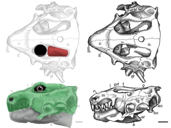 Figure 1. Hypsognathus restored with an eyeball and jaw muscle filling the orbit.