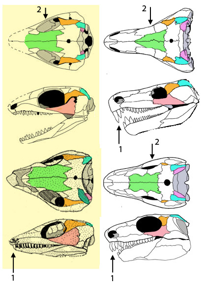 Figure 2. Milleretta (RC14 and RC70 specimens), Orobates and Limnoscelis. 1. long anterior teeth. 2. Orbit loses dorsal exposure.