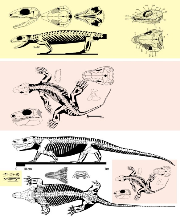 Figure 3. Milleretta, Orobates and Limnoscelis. Lower images are to scale. Not the development of the posterior ilium process in Orobates and Limnoscelis.
