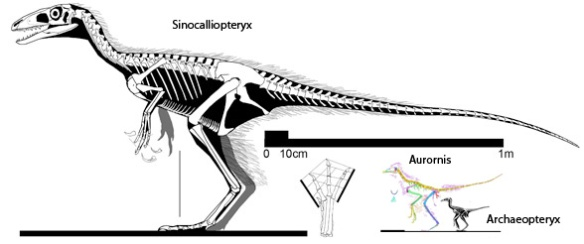 Figure 2. Sinocalliopteryx along with Aurornis and Archaeopteryx to scale. This illustration produced over a year ago, tells the same tale as the new Lee et al. paper, but without the great supporting details.