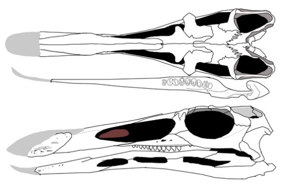 Figure 2. Teraterpeton skull. Note the confluent naris/antorbital fenestra.