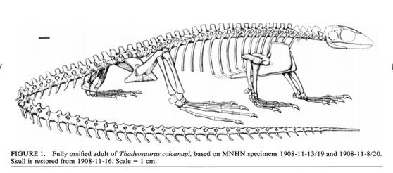 Figure 1. Original reconstruction of Thadeosaurus from Carroll 1981, 1993.