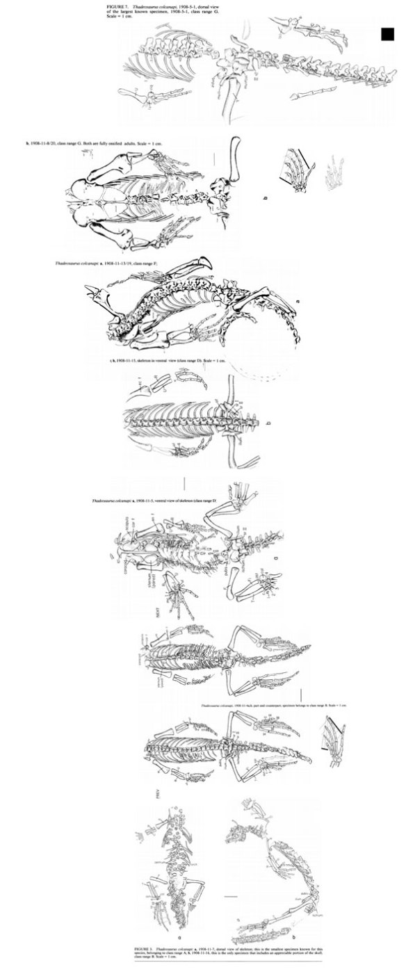 Figure 2. The various specimens in various sizes, all to scale attributed to Thadeosaurus. If the largest specimen did not have a bone, it was scaled up from the smaller specimens.
