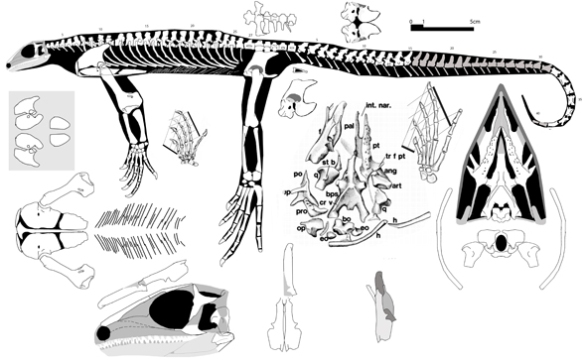 Figure 1. Thadeosaurus reconstructed from bits and pieces over large and small specimens scaled up to the large specimen. Only one of the smallest juveniles preserves any skull bones.
