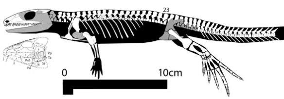Figure 2. Bruktererpeton, a gephyrostegid and a basal lepidosauromorph amniote.