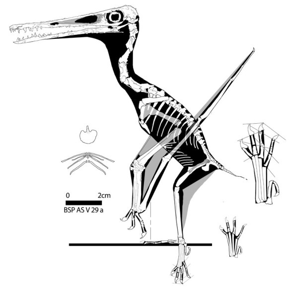 Figure 5. Pterodactylus specimen BSP AS V 29a/b reconstructed. Soft tissue shows where the naris opens.