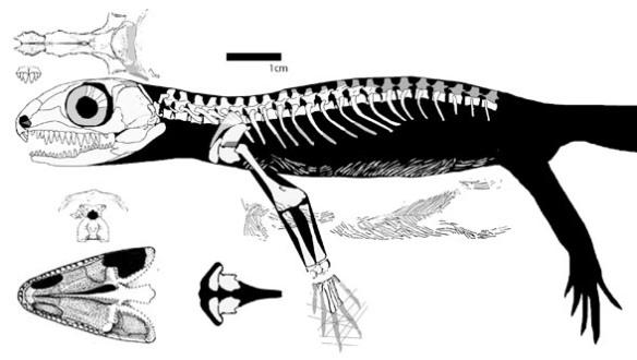 Figure 4. Cephalerpeton. A basal lepidosauromorph.
