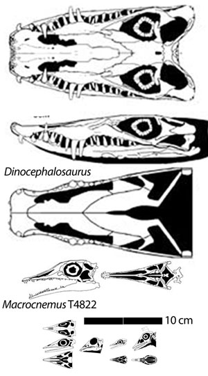 Figure 3. Dinocephalosaurus to scale with the largest Macrocnemus specimen and the smaller ones from figure 2.