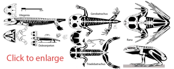 The evolution of frogs from Utegenia, through Doleserpeton, Gerobatrachus, Triadobatrachus and Rana.