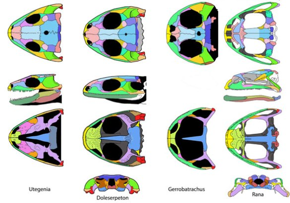 Frog skull evolution. Here, starting with the Permian Utegenia (with relatives back to the Visean) you can see stages in the evolution of the frog skull through Doleserpeton and Gerobatrachus to Rana, the bull frog.