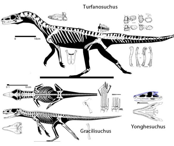 Figure 1. Do these taxa nest in a single clade? No. Turfanosuchus, Gracilisuchus and Yonghesuchus. Each nests more closely with other taxa.
