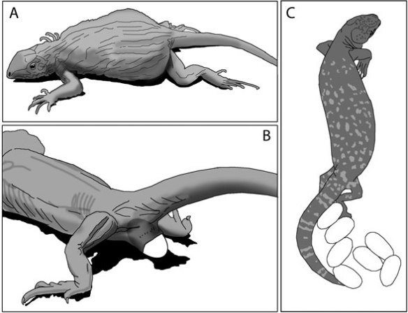 Figure 4. Extant lizards, A. gravid, B. in the process of laying eggs, C. with egg clutch.