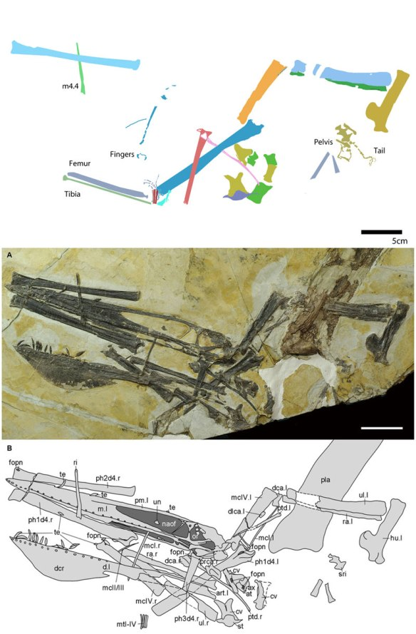 Figure 2. Ikrandraco in situ. Below as originally traced. Above with femur, tibia, pelvis and tail traced and manual 4.4 identified (not a rib).