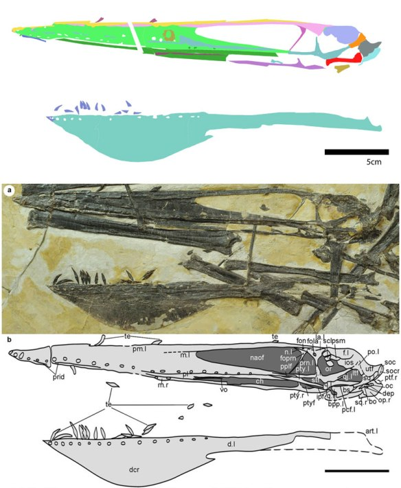 Figure 1. Click to enlarge. Ikrandraco avatar skull. As originally traced (below) with DGS (above).
