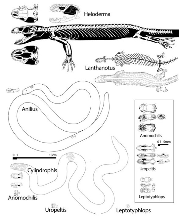 Figure 2. Heloderma, Lanthanotus, Anilius, Cylindrophis, Uropeltis, and Leptotyphlops to scale. Boxed scales are enlarged.