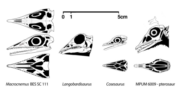 Figure 2. Macrocnemus BES SC 111 compared to sister taxa, Langobardisaurus, Cosesaurus and the basal pterosaur, MPUM 6009. Preserved loose, the orientation of the ectopterygoids could go either way, with the narrow tip contacting the maxilla instead, as in Dinocephalosaurus (Fig. 3).