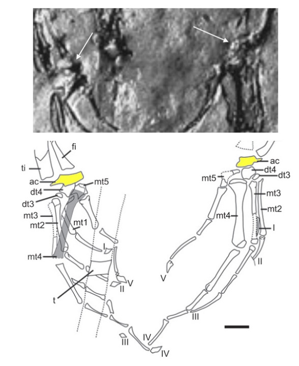 Figure 3. Ankles of the LH 25303 specimen. Here Bolet and Evans see a single astragalocalcaneum (in yellow on the drawing) but the photo does not  support a single proximal ankle bone.