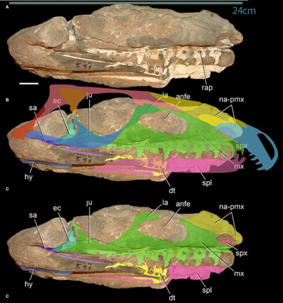Figure 1. Top and bottom images from Ezcurra et al. 2014. Middle with missing pieces imagined and restored based on other specimens.