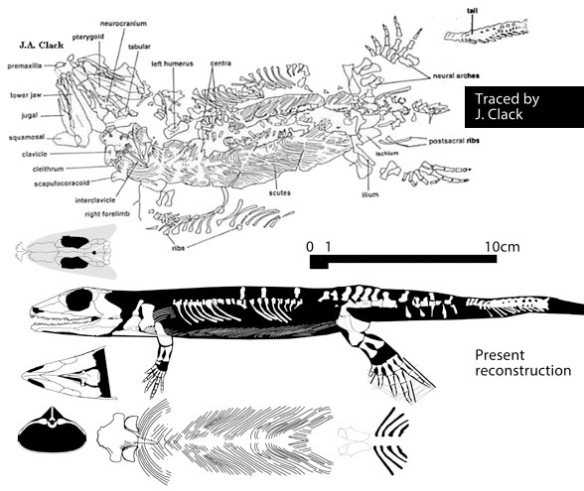 Figure 2. Silvanerpeton from the Upper Viséan (331 mya) is the outgroup taxon for Gephyrostegus and the Amniota.