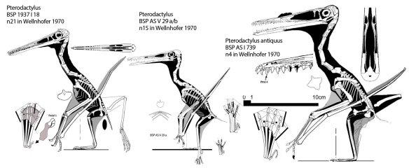 Figure 3. Click to enlarge. The large pterosaur tree nests these three taxa together. So this Pterodactylus really is a Pterodactylus.