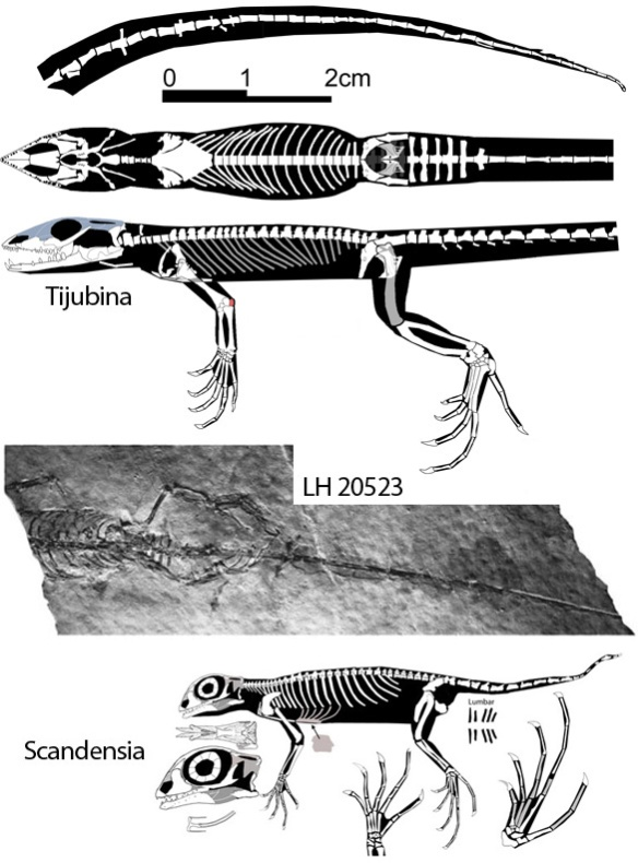 Figure 1. Tijubina and Scandensia holotypes. Scandensia is a much larger genus. The tail is not well preserved and could be longer in Scandensia. Note the lumbar area in Scandensia not present in Tijubina. Also note the great size of metatarsal 4 in Tijubina, not present in Scandensia.