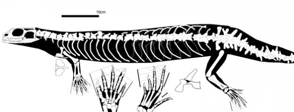 Figure 1. Ankylosphenodon pachyostosus. Click to enlarge. This long-bodied taxon nests at the base of the pleurosaurs, Marmoretta and Megachirella.