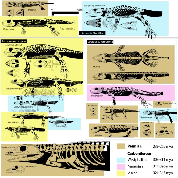 Figure 1. Basal amniotes to scale colorized according to the time strata in which their fossils were found. Visean, yellow; Namurian, pink; Westphalian, blue; Permain, tan.