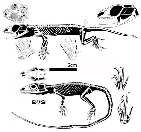 Figure 1. Liushusaurus (above) and Calanguban (below) to scale. Both nest at the base of the Scleroglossa, which makes them sisters to the basalmost tested iguanid, Iguana.