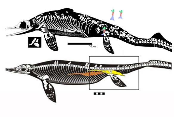 Figure 2. Chaohusaurus nested as a sister to Cartorhynchus in the Motani et al. tree, and they do indeed resemble one another. The posterior half is hypothetical. Adding Cartorhynchus to the ichthyosaurs adds 35 steps.